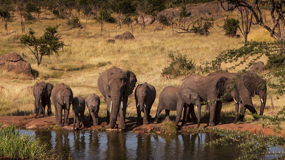 hotels in heaven four seasons safari lodge serengeti activity elephants waterwhole bushes savannah flock baby elephant