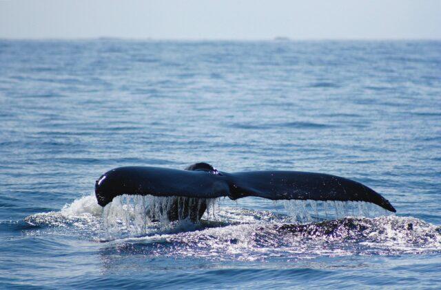 whale watching-clayoquot wilderness resort canada