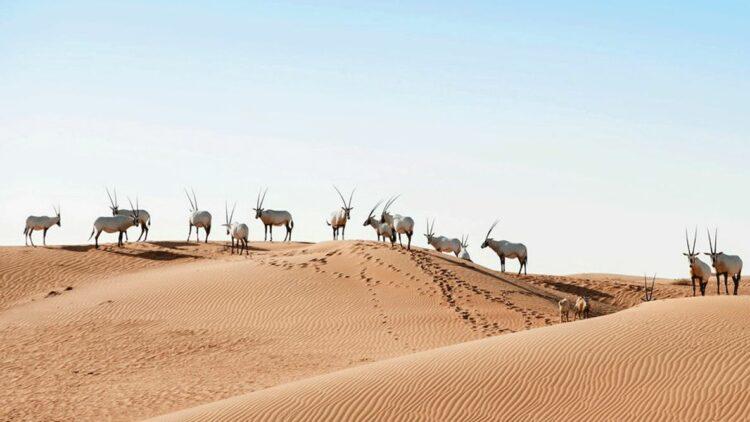 hotels in heaven al maha location desert goat animal environment sky sand wasteland