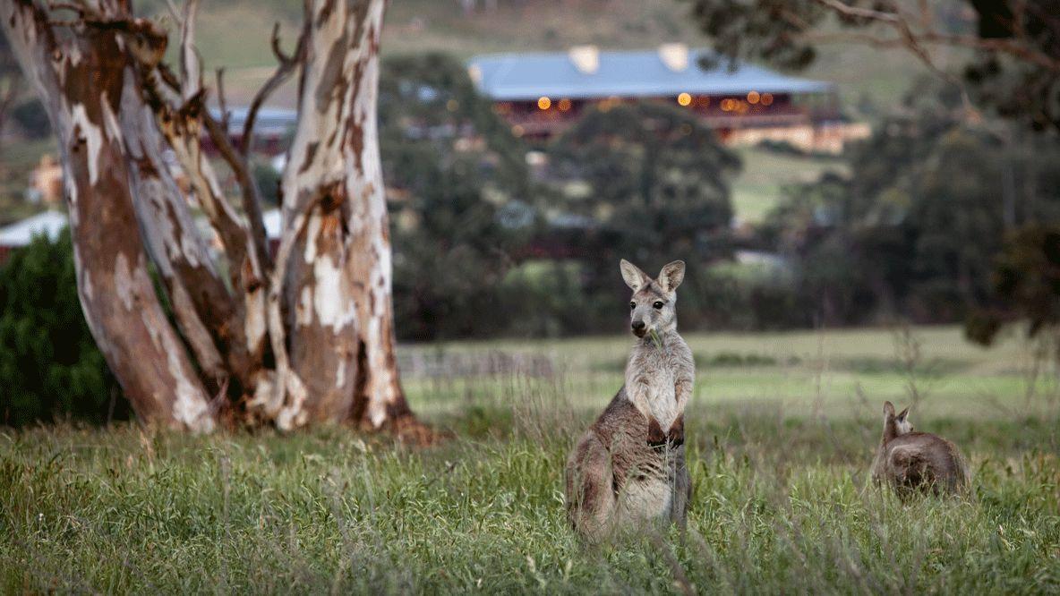 kangaroo-emirates one&only wolgan valley australia
