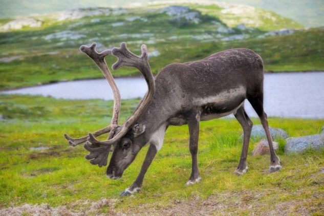 manshausen-island-resort-reindeer