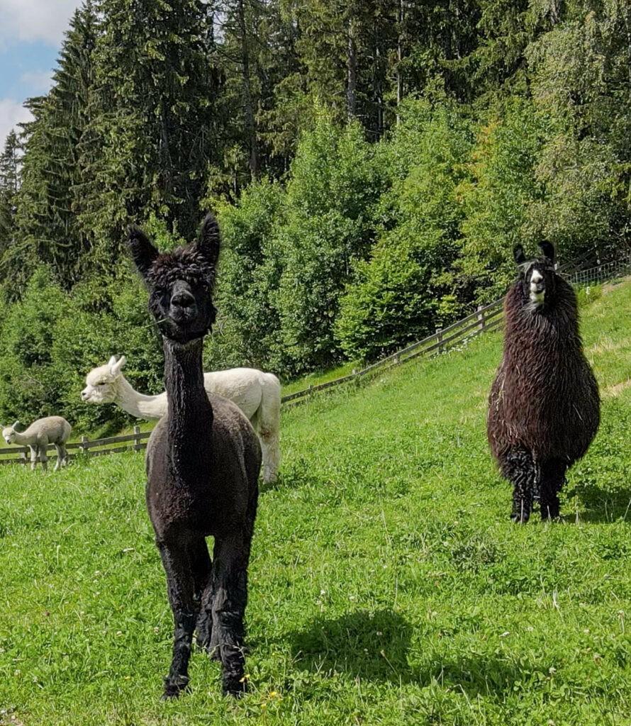 Chalet-Mirabell-Llama-Enclosure